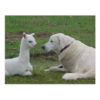 Cartão Postal Pastor e bebê anatólios da alpaca