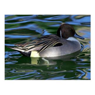 Cartão Postal Pato da natação