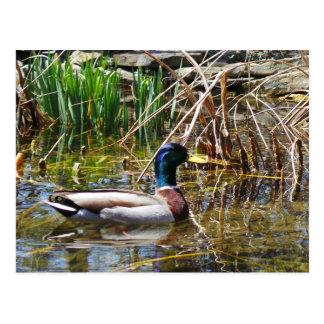 Cartão Postal Pato do pato selvagem
