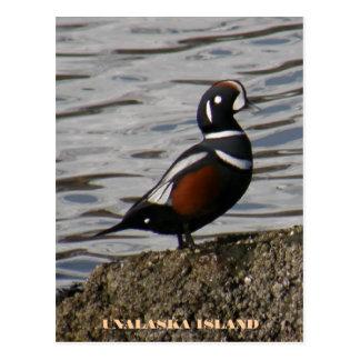 Cartão Postal Pato masculino do Harlequin, ilha de Unalaska