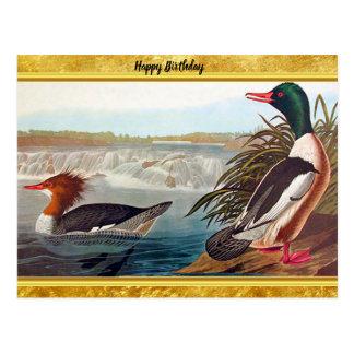 Cartão Postal Patos americanos do pato selvagem em uma natação