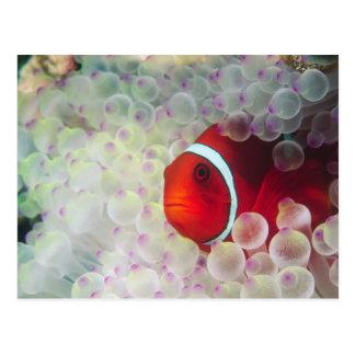 Cartão Postal Paupau Nova Guiné, grande recife de coral,