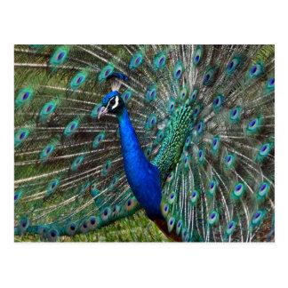 Cartão Postal Pavão masculino colorido