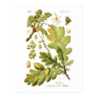 Cartão Postal Pedunculata do Quercus (carvalho inglês)