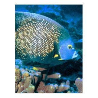 Cartão Postal Peixes do Pomacanthus