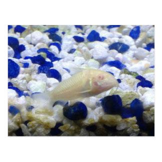 Cartão Postal Peixes seixos e do gato azuis e brancos do albino