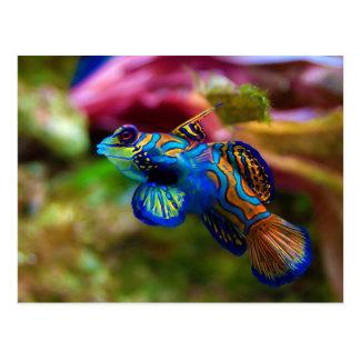Cartão Postal Peixes Synchiropus Splendidus do mandarino