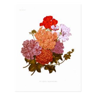 Cartão Postal Pelargoniums Hera-com folhas