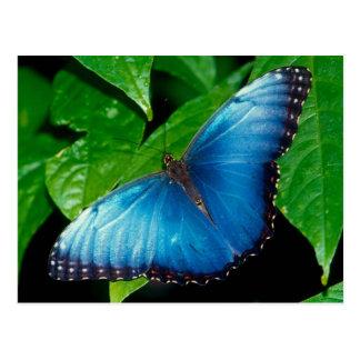 Cartão Postal Peleides Blue Morpho (Morpho peleides)