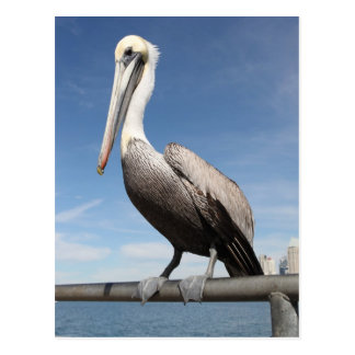Cartão Postal Pelicano