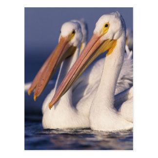 Cartão Postal Pelicano branco americano, Pelecanus