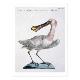 Cartão Postal Pelicano, c.1767-76 (gravura colorida mão)