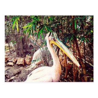 Cartão Postal pelicanos