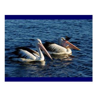 Cartão Postal Pelicanos com peixes