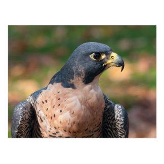 Cartão Postal Perfil do falcão de peregrino