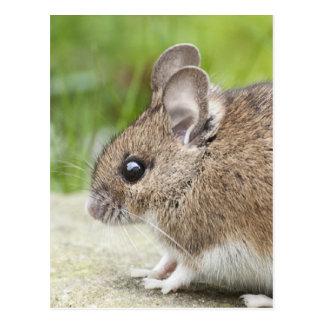 Cartão Postal Perfil do rato