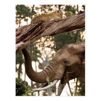 Cartão Postal Perfume do teste do elefante (Loxodonta) do