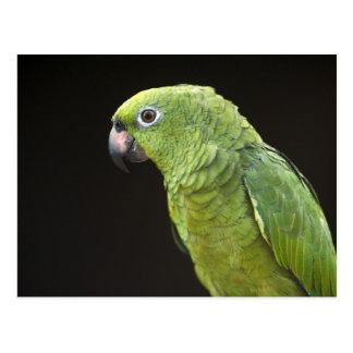 Cartão Postal Pessoas da vila de Macushi Yupukari do papagaio do