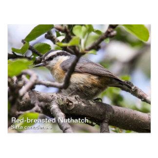 Cartão Postal Pica-pau-cinzento de peito encarnado