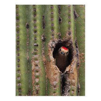 Cartão Postal Pica-pau de Gila no Saguaro