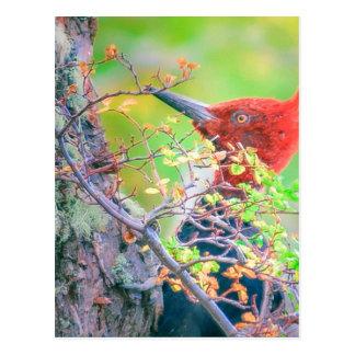 Cartão Postal Pica-pau em Pecking da floresta