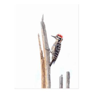 Cartão Postal Pica-pau Escada-Suportado
