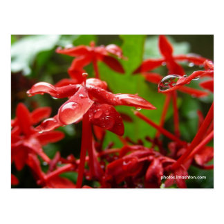 Cartão Postal Pingos de chuva em uma flor vermelha