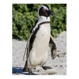 Cartão Postal Pinguim africano, conhecido anteriormente como o