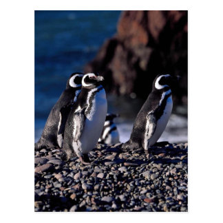 Cartão Postal Pinguim de Magellanic
