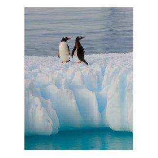 Cartão Postal pinguim do gentoo, Pygoscelis Papua, no gelo