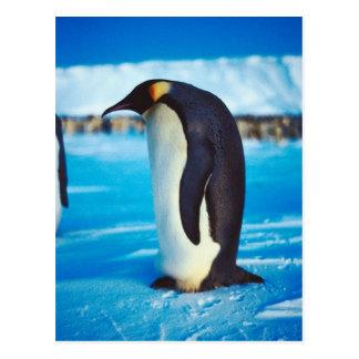 Cartão Postal Pinguim solitário