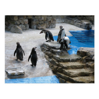 Cartão Postal Pinguins