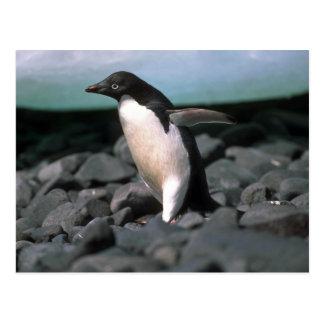Cartão Postal Pinguins de Adelie
