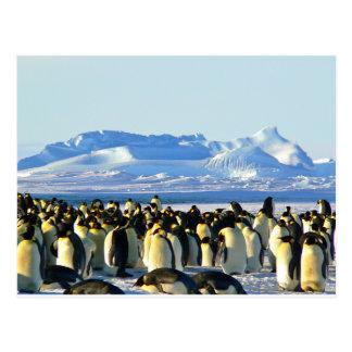 Cartão Postal Pinguins de imperador