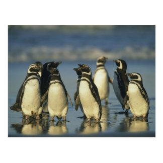Cartão Postal Pinguins de Magellanic, Spheniscus