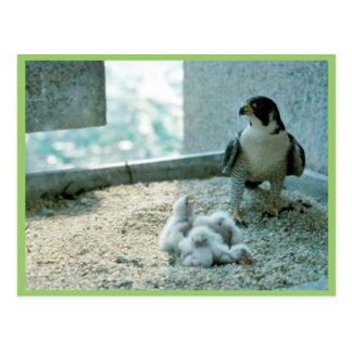 Cartão Postal Pintinhos do falcão de peregrino, fêmeas