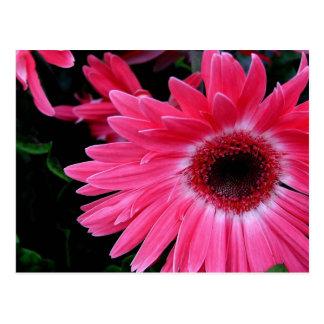 Cartão Postal Pinwheel cor-de-rosa