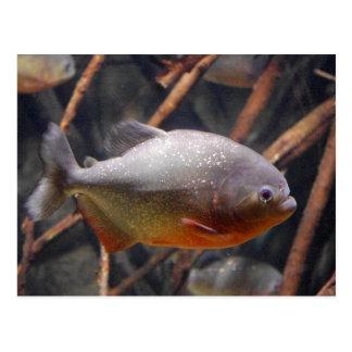 Cartão Postal Piranha - Innocent que olha peixes de Brown