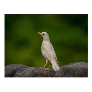 Cartão Postal Pisco de peito vermelho do albino no ponto da