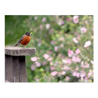 Cartão Postal Pisco de peito vermelho e foto selvagem dos rosas