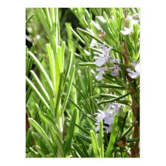 Cartão Postal Planta de Rosemary com flores