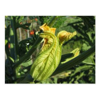 Cartão Postal Planta do abobrinha na flor no jardim vegetal