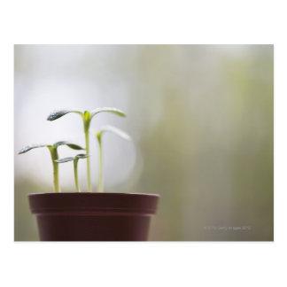Cartão Postal Plantas do girassol que sprouting no pote 2