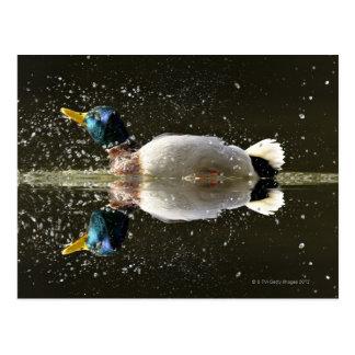 Cartão Postal (Platyrhyncus dos Anas), agitando fora da água em
