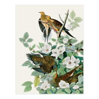 Cartão Postal Pomba da tartaruga de Carolina, pássaros de