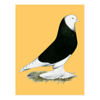 Cartão Postal Pombo calvo preto ocidental