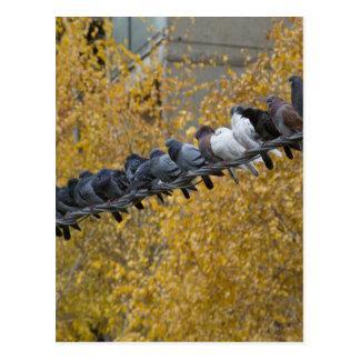 Cartão Postal Pombos