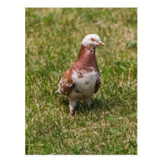 Cartão Postal pombos no parque