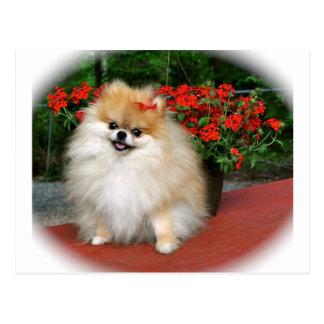 Cartão Postal Pomeranian