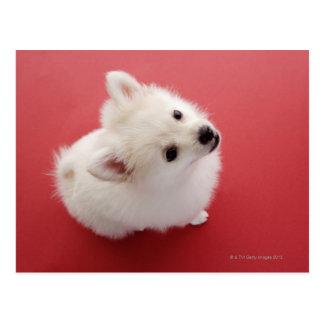 Cartão Postal Pomeranian no tapete vermelho
